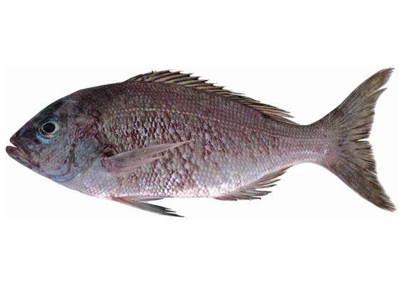 In Fischfilets PTC Snapper können Algengifte vorkommen. (Foto: W. Toller CC BY 2.5)